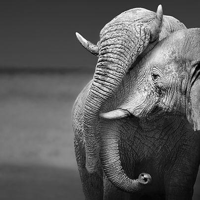 elephant-amour